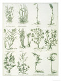 Plants from Culpeper's 'English Physician and Complete Herbal', Published 1790 Giclee Print