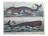 Whaling and Sperm Whale, from 'Natural History of Mammals'. Giclee Print