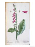"Elizabeth Blackwell, Digitalis Purpurea, from ""Herbarium Blackwellianum,"" 1757, Giclee Print"