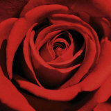 Rose, Art Print