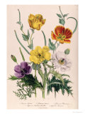 "Poppies and Anemones, Plate 5 from ""The Ladies"" Flower Garden"", Published 1842, Giclee Print"