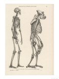 Human Skeleton Compared with That of a Gorilla, Giclee Print