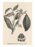 Cocoa (or Chocolate) Plant Bearing Fruit, Theobroma Cacao, Giclee Print
