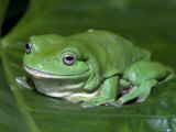 Green Tree Frog (Litoria Caerulea) on Leaf, Northern Territory, Australia, Photographic Print