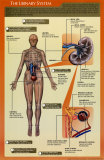 Urinary System Laminated Poster