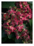 Fuschia Bouquet, Giclee Print