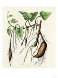 Sweet Potato Plant, a Tropical Vine with an Edible Tuberous Root, Giclee Print