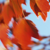 Orange Leaves in the Wind, Photographic Print