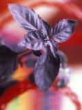 Purple Basil Plant (Ocimum Basilicum Purpurascens), Photographic Print
