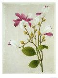 Purple Magnolia, Giclee Print