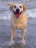 Yellow Labrador Retriever, Photographic Print