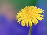 Common Dandelion, Taraxacum Officinale Flower, Great Smoky Mtns. National Park, TN, Photographic Print