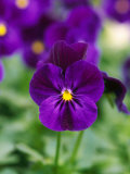 "Viola Cornuta ""Violet Flare"" (Horned Violet), Evergreen Perennial, Photographic Print"