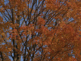 A sugar maple blazes with fall color, Photographic Print