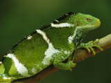 Portrait of a Crested Iguana Perched on a Tree Branch, Photographic Print