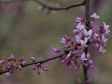 Close View of a Redbud Tree Blossoms, Photographic Print
