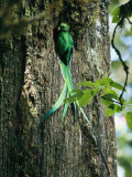 Resplendent Quetzal (male) Bearing Food for its Nestlings, Photographic Print
