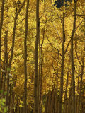 Stand of Autumn Colored Aspen Trees, Photographic Print