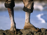 The Feet of a Salt Worker, Gujarat, India, Photographic Print