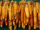 Drying Seed Corn, Francisco Morazan, Honduras, Photographic Print