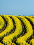 Yellow Mustard in the Vineyards in Spring, Napa Valley, United States of America, Photographic Print