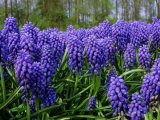 Muscari Armeniacum Syn, Muscarimia (Grape Hyacinth), Bright Blue Flowers with White Mouths, Photographic Print