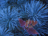 Frosty Maple Seedling in Pine Tree, Wetmore, Michigan, USA, Photographic Print