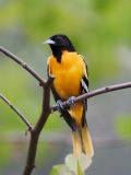 Male Baltimore Oriole, Photographic Print