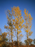 A Cottonwood Trees Displays Its Autumn Colors, Photographic Print