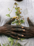 A neighbor clasps a peanut plant to his chest, Photographic Print