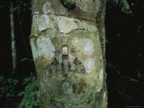 A Moth Camouflaged on a Lichen-Covered Tree Trunk, Photographic Print