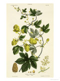 Hop Vine, from The Young Landsman, Published Vienna, 1845, Giclee Print