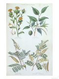 Plants Used in Dyeing, Plate from a Botanical Study, Engraved by J. Bishop, 1872, Giclee Print
