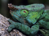 Chameleons in the Analamazaotra National Park, Madagascar, Photographic Print