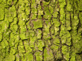 Close-Up of Green Moss on Rough and Textured Tree Bark, Photographic Print