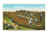 Cranberry Harvest in Cape Cod Art Print