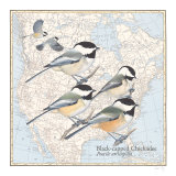 Black Capped Chickadees Art Print