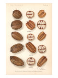 Varieties of Pecan and Walnut, Art Print