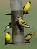 American Goldfinch, Photographic Print