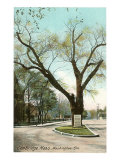 Washington Elm, Cambridge, Massachusetts, Art Print