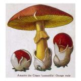 Caesar's Amanite (Agaricus Caesaricus) (Edible), Giclee Print