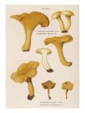 Cantharellus Cibarius (Edible) Cantharellus Aurantiacus (Suspect), Giclee Print