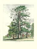 The Tall Oak, Giclee Print