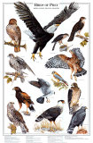 Birds of Prey: Owls I, Art Print