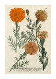 Marigold II, Giclee Print