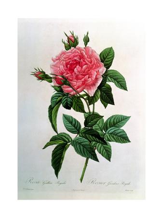 Rosa Gallica Regallis Lámina giclée