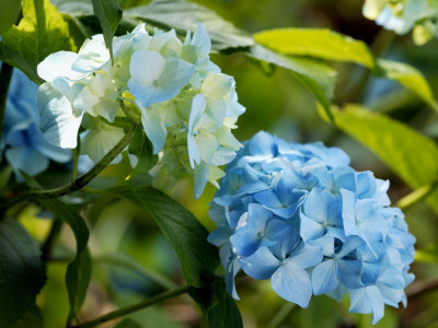 Hydrangea Macrophylla (Mophead Hydrangea), Close-up of Blue Flowers Photographie