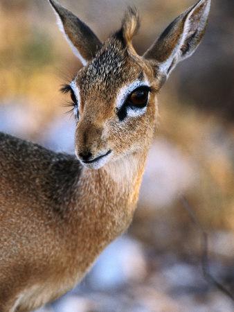 حيوان الكيركي الغيني الطف الحيوانات شكلا..!! KVXOD00Z.jpg