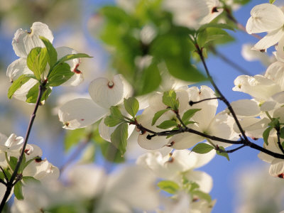 Dogwood Trees in Bloom, Jamaica Plains, MA Photographic Print