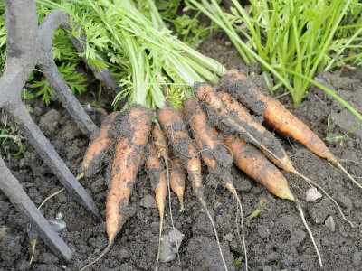 Freshly Dug Home Grown Organic Carrots 'Early Nantes', Norfolk, UK Photographic Print